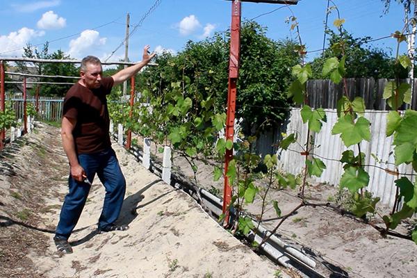 Мужчина показывает шпалеры с виноградом