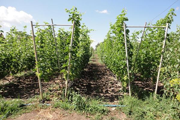 Двухплоскостные шпалеры для винограда