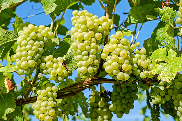 Виноградные грозди на лозе