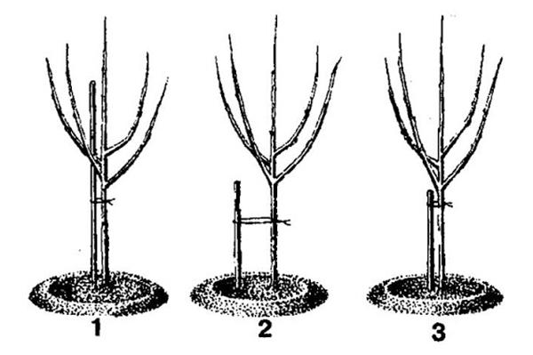Способы подвязки молодых яблонь