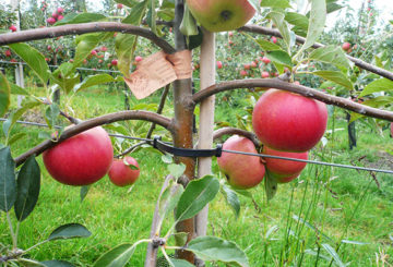 Подвязка плодоносящей яблони