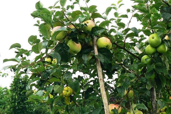 Опора для ветви плодоносящей яблони