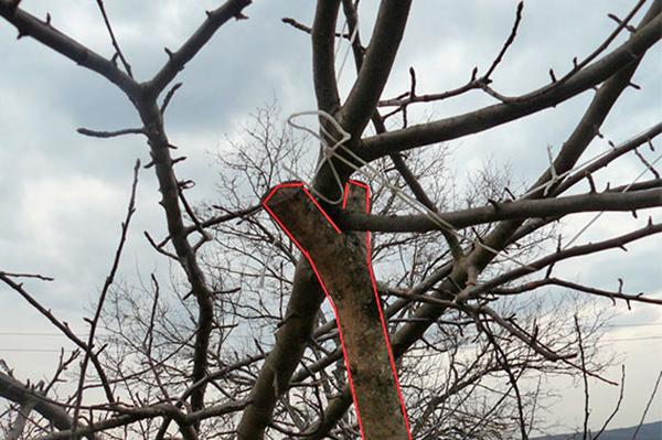 Подпорка из раздвоенной ветки для яблони