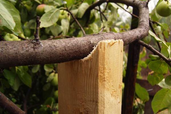 Подпорка для ветви яблони