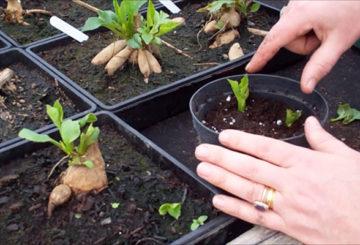 Проращивание георгинов весной