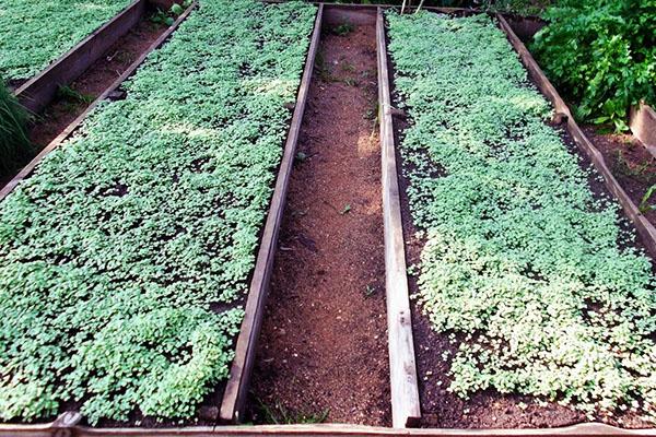 посев сидератов весной в теплице