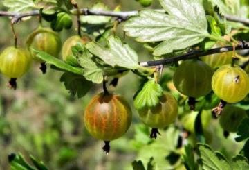 Плоды крыжовника на кусте