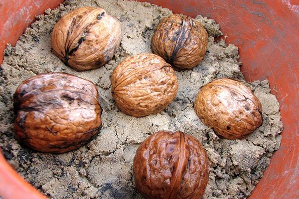 Проращивание грецких орехов в горшке с песком