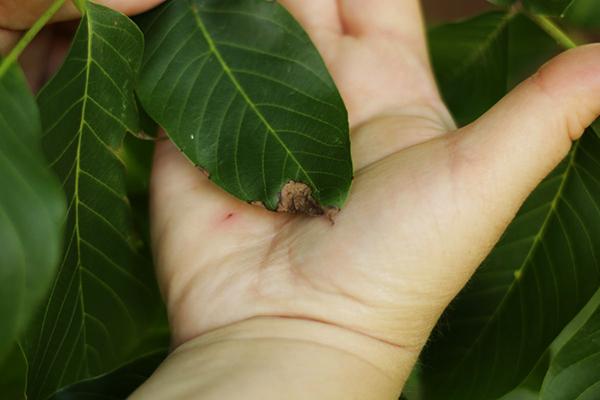 Поврежденный лист грецкого ореха