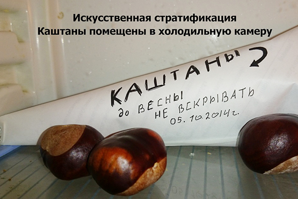 Каштаны в холодильнике