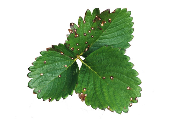 Белая пятнистость на листе клубники