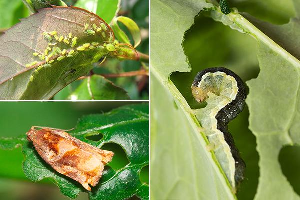 Вредители растений - тля, моль, совка