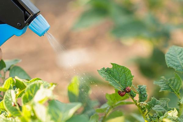 Опрыскивание картофеля от колорадского жука