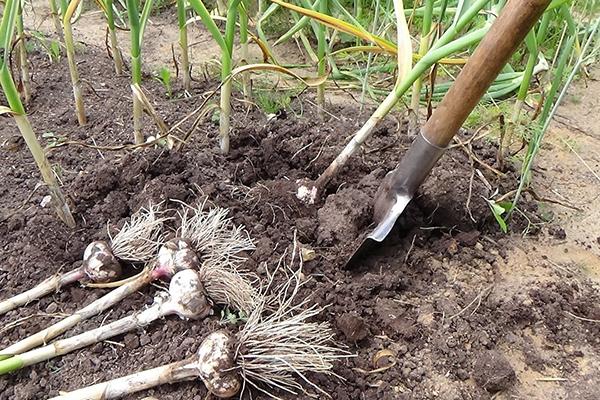Уборка урожая озимого чеснока