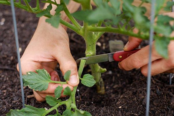 Удаление нижних листьев у томата