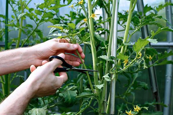 Удаление пасынков с помидоров в теплице