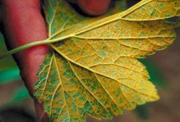 Ржавчина на листе смородины
