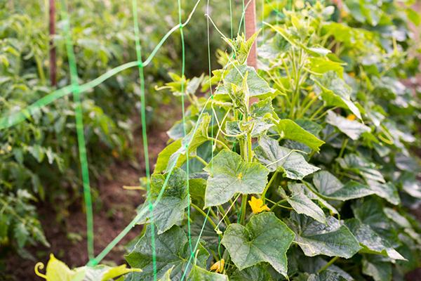 Подвязка огурцов на сетку