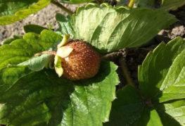 Засохшая ягода на кусте клубники