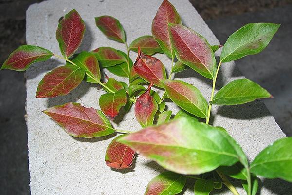 Краснеют листья у голубики летом