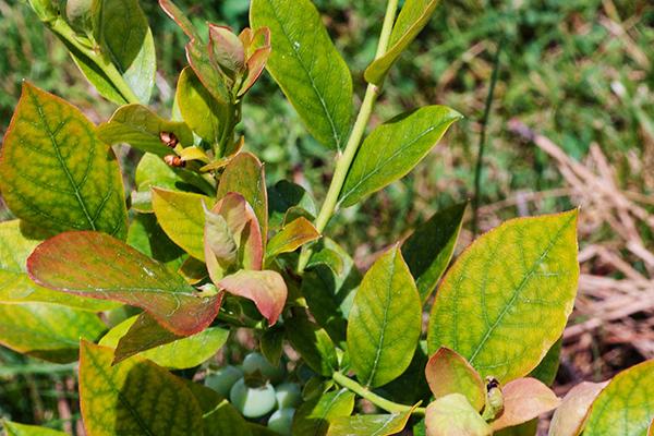 Листья голубики после заморозков
