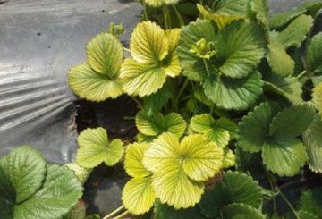 Желтеют листья у клубники