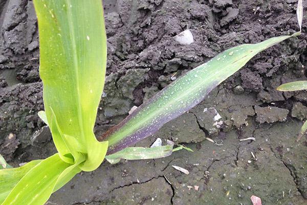 Признак недостатка фосфора у растения