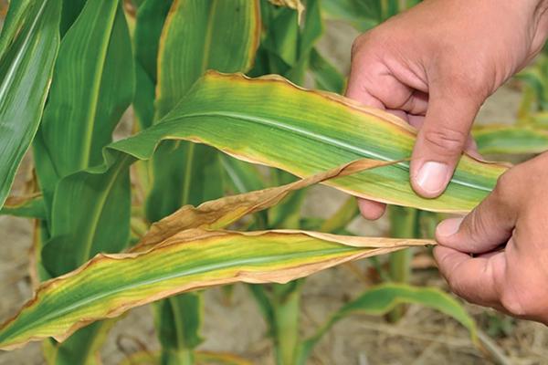 Признак недостатка калия у растений