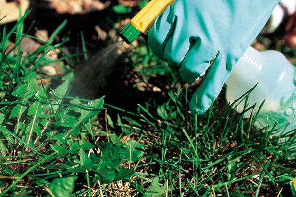 Распыление гербицида на одуванчик