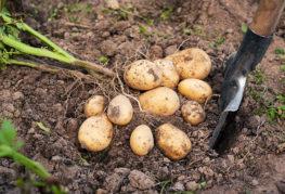 Клубни молодого картофеля