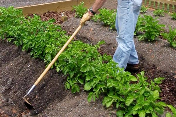 Окучивание картофеля
