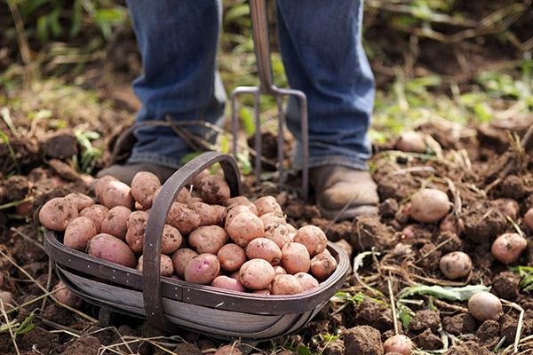Уборка раннего картофеля