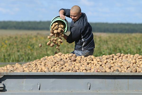 Уборка позднего картофеля