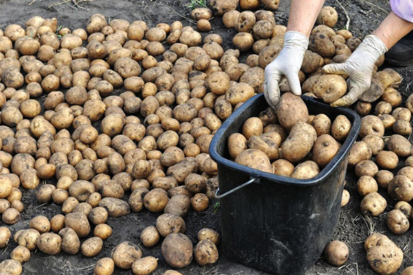 Сортировка выкопанного картофеля