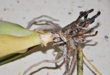 Орхидея, пораженная корневым клещом
