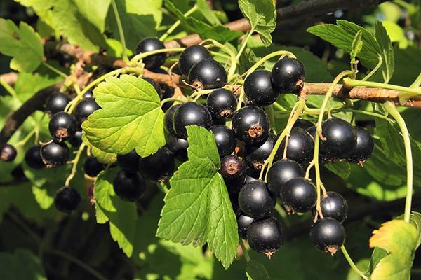 Плодоношение черной смородины