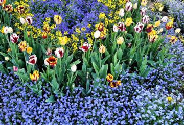 Клумба с тюльпанами и незабудками