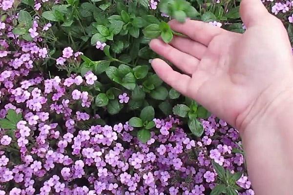 Мыльнянка цветет