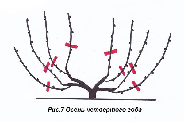 Схема обрезки винограда осенью четвертого года