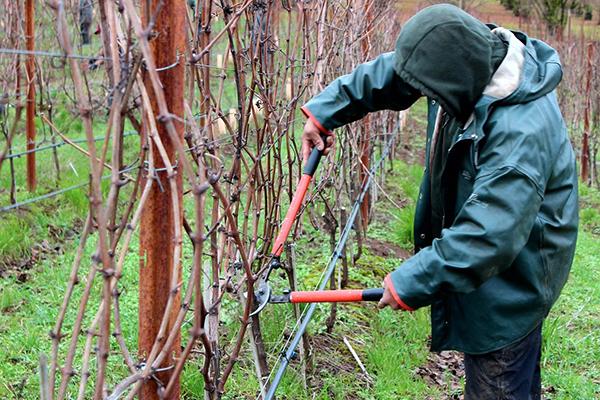 Мужчина обрезает виноград