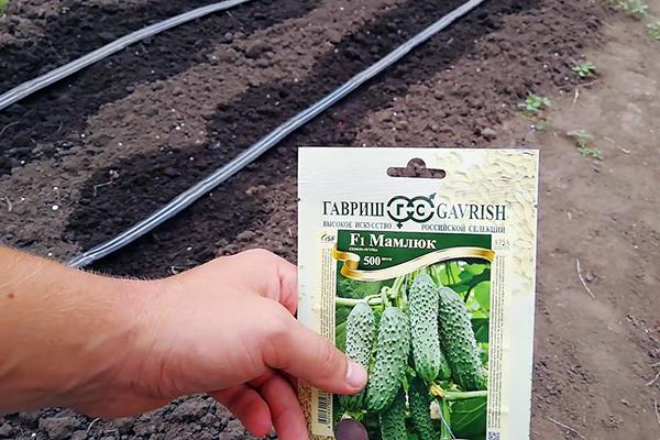 Посев огурцов семенами в открытый грунт