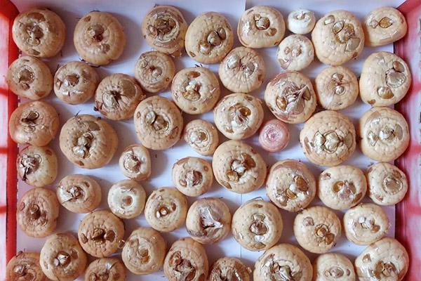 Луковицы гладиолусов после зимы