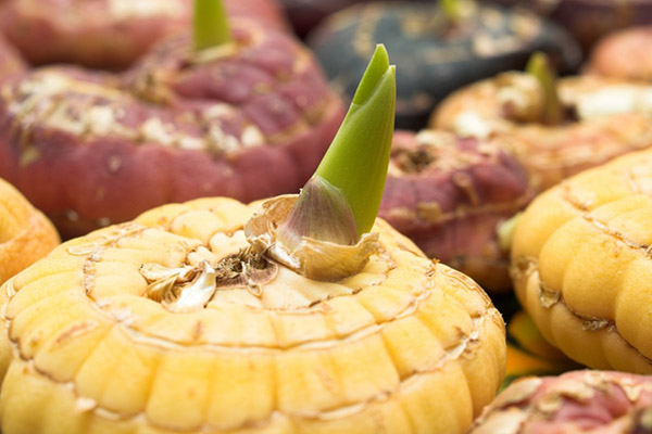 Проращивание гладиолусов