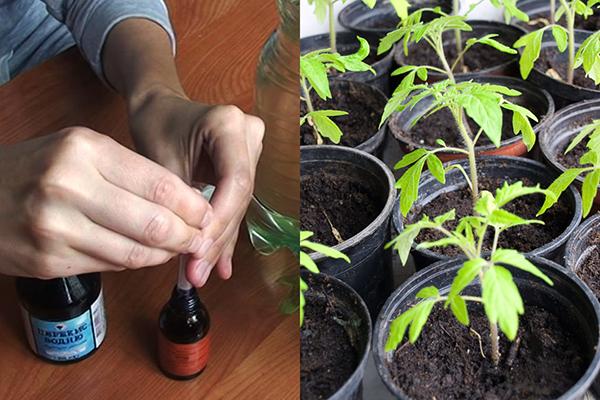 Подкормка рассады томатов йодом