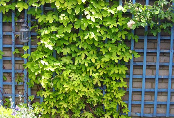 Деревянная решетка на стене как опора для вьющихся растений
