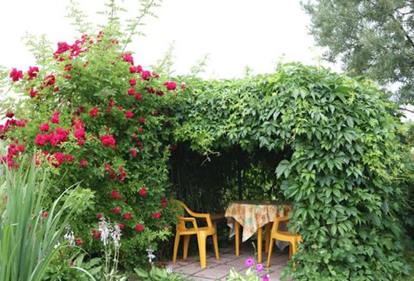 Беседка под девичьим виноградом в саду