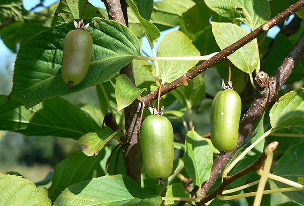 Актинидия с плодами
