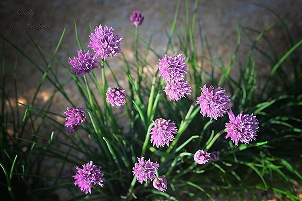 Цветение шнитт-лука