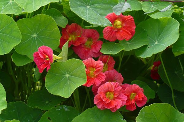 Розовые цветы настурции