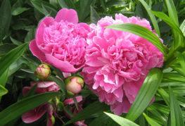 Розовые пионы в полутени
